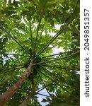 Papaya Trees Grow In Many Parts ...