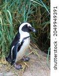 Portrait Of Humboldt Penguin In ...
