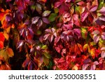 Virginia Creeper Leaves. Bright ...