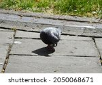 Feral Pigeon Scavenging For...
