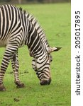 photo of an adult zebra feeding  | Shutterstock . vector #205017895