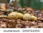 Group Of Common Earthball. Also ...