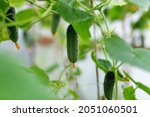 Large Cucumbers Growing In A...