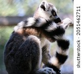 A Shallow Of A Ring Tailed...