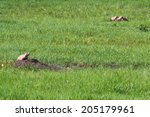 Small photo of black tailed prairie dog calling out to advise his frieda of a possible predator