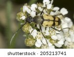 Small photo of Longhorn beetle Pachytodes cerambyciformis in natural habitat