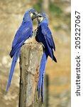 Two Hyacinth Macaws ...