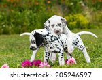 Stock photo dalmatian puppies playing on a meadow 205246597