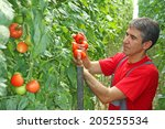 Farmer Picking Tomato In A...