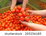 Tomato in women's hands after harvest - stock photo