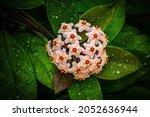 Hoya Carnosa Lush Inflorescence ...