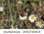 A Small Copper Butterfly On...