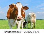 young cows om farmland | Shutterstock . vector #205276471