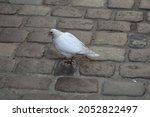 White Bird Walking On A Paved...
