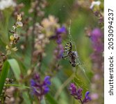 Wild Predatory Wasp Spider ...