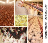 Chicken farm, poultry production - collage - stock photo