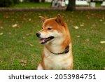 japanese shiba inu dog smiling... | Shutterstock . vector #2053984751