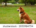 japanese shiba inu dog smiling... | Shutterstock . vector #2053984754