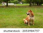 japanese shiba inu dog smiling... | Shutterstock . vector #2053984757