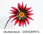 Beautiful Gazania Flower ...