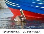 Long Shot Of A Pelican Swimming ...