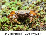 Small photo of Beccumon alcockianum ,River crab in nature for background use