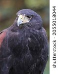 Small photo of Portrait of the head of a Harris's Hawk
