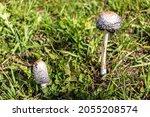 Coprinus Comatus. Coprinopsis...