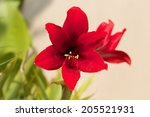 Red Lilly Flower Blooming In...