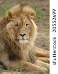 big male lion resting on the...   Shutterstock . vector #20552699