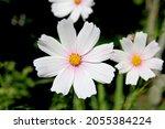 A White Cosmea Flower Against...