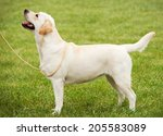 golden retriever outdoor walk... | Shutterstock . vector #205583089