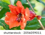 A Honey Bee Diving Into A...