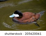 Male Ruddy Duck With Vibrant...