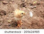 chickens | Shutterstock . vector #205626985