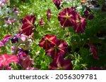 pretty colorful petunia flowers.... | Shutterstock . vector #2056309781