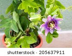 passion flower  passiflora... | Shutterstock . vector #205637911