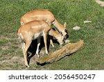 Deer Goat Antelope  Mammalia...