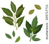 twig fresh bay leaf herb... | Shutterstock .eps vector #205717711