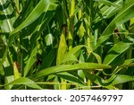 the lushness of the cornfield... | Shutterstock . vector #2057469797