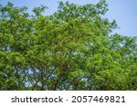 green foliage of the trees with ... | Shutterstock . vector #2057469821