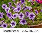 Bright Purple Petunia Flowers...