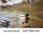 Wild Duck Swimming In A Pond....