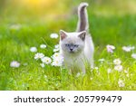 Stock photo cute little siamese kitten on the flower lawn 205799479