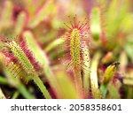 Closeup Sundew Carnivorous...