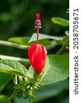 Malvaviscus Arboreus Is A...