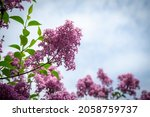 Nice Feathery Flowering In A...
