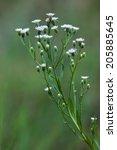 Small photo of Flowers of Erigeron acris