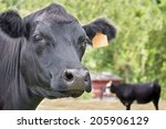 Close Up Of A Black Angus Cow...