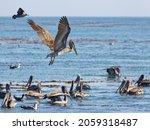 A Closeup Shot Of Pelicans...